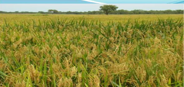 Farm Inputs Project: Nerica-Rice in Awendo Sub-County